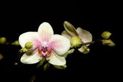 hybrideorchidphalaenopsis Royaltyfri Fotografi