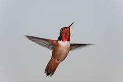Hybrider Kolibri Stockfoto