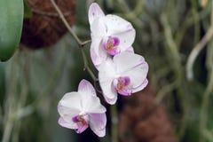 Hybrider Rosa- und weißer Phalaenopsis, hybrider Orchideenabschluß oben in der Weichzeichnung lizenzfreie stockbilder
