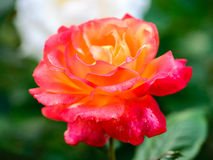 Hybrider Tee Rose 'Bella'roma' Stockfotos