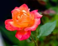 Hybrider Tee Rose 'Bella'roma' Lizenzfreie Stockbilder