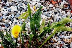 Hybrides Calla-Lilien-Jahrtausend-Gold, Zantedeschia ` Jahrtausend-Gold- `, ` gelbes Mammut-` Lizenzfreies Stockfoto