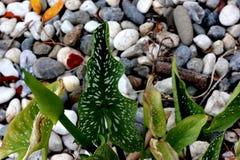 Hybrides Calla-Lilien-Jahrtausend-Gold, Zantedeschia ` Jahrtausend-Gold- `, ` gelbes Mammut-` Stockfotos