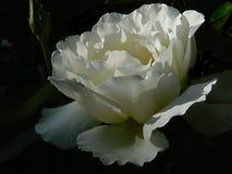 Hybrides Tee-Rosen-` Gartenfest ` mit der Knospe und dunkelgrünem Hintergrund Stockfoto