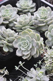 Hybridization succulent, Graptoveria Titubans,crassulaceae Stock Photo
