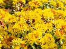 Hybridum de Sedum Fim do hybridum de Sedum da planta acima Um tapete vivo de plantas amarelas Lotes ajardinando decorativos do ja Imagem de Stock