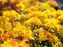 Hybridum de Sedum Fim do hybridum de Sedum da planta acima Um tapete vivo de plantas amarelas Lotes ajardinando decorativos do ja Foto de Stock Royalty Free