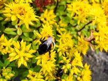 Hybridum de Sedum Fim do hybridum de Sedum da planta acima Um tapete vivo de plantas amarelas Lotes ajardinando decorativos do ja Imagem de Stock Royalty Free