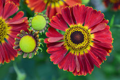 Hybridum do Helenium Imagem de Stock Royalty Free