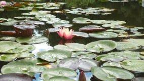 Hybridum van waterleliesnymphaea stock videobeelden