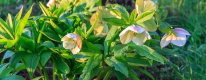 Hybridus de Helleborus de hellebore blanc Images stock