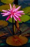 Hybryd różowa wodna leluja w pełnym kwiacie z pączkiem w stawie obrazy royalty free