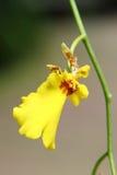 hybrydowy oncidium orchidei kolor żółty Zdjęcie Stock