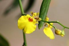hybrydowy oncidium orchidei kolor żółty Obraz Stock