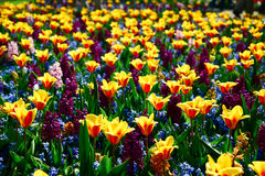 Hybrydowy tulipanu pole Zdjęcia Stock