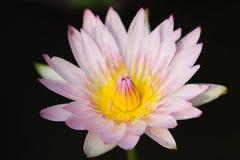 Hybrydowy Waterlily fotografia stock