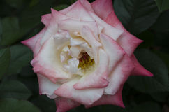 Hybrydu różany gemini zdjęcia stock