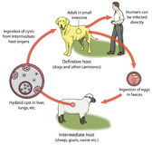 Hydatid disease. Life cycle of tapeworm, involving dog definitive host, sheep intermediate host, eggs and cysts.  Created in Adobe Illustrator.  Contains Royalty Free Stock Photos