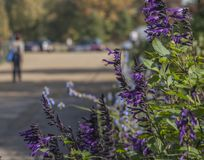 Hyde Park - autumnal colours of London, violet flowers. This image shows a view of some colourful trees in Hyde Park, London. It was taken on a sunny and warm royalty free stock photography
