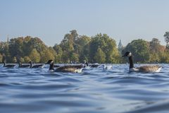 Hyde Park, London - ducks floating on blue waters. This image shows a view of Hyde Park, London. It was taken on a sunny day in September 2018. We can see some royalty free stock photos