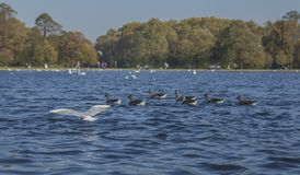 Hyde Park, London - ducks and seagulls floating on blue waters. This image shows a view of Hyde Park, London. It was taken on a sunny day in September 2018. We stock images