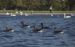 Hyde Park, London - ducks and swans floating on blue waters. This image shows a view of Hyde Park, London. It was taken on a sunny day in September 2018. We can stock images