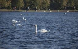Hyde Park London - svanar och blått vatten fotografering för bildbyråer