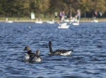 Hyde Park London, UK - änder och svanar som svävar på blått vatten royaltyfria foton