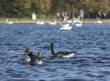 Hyde Park, London, the UK - ducks and swans floating on blue waters. This image shows a view of Hyde Park, London, the UK. It was taken on a sunny day in royalty free stock photos