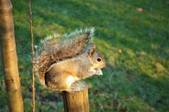 Hyde Park. Look on the squirrel in the Hyde Park, London Royalty Free Stock Image