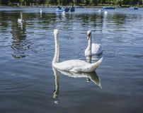 Hyde Park, the swans. This image shows the lake in Hyde Park, London. There are some swans visible in the foreground as well as in the distance Royalty Free Stock Photography