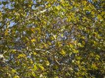 Hyde Parkuje - zieleni niebieskie nieba i liście przyglądający w górę fotografia stock
