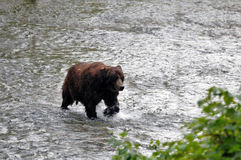 Hyder,阿拉斯加北美灰熊 库存图片