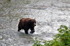 Hyder Alaska grisslybjörn Arkivbilder