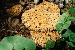 Hydnellum ferrugineum, rzadka drewno pieczarka, krwionośny zębu grzyb, powszechnie znać jako mączysty ząb obraz stock