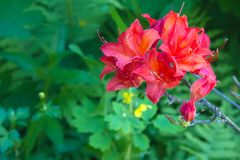 Hydon Dawn in summer garden stock photo