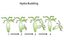 Hydra budding Royalty Free Stock Photography