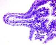 Hydra, een eenvoudig zoetwaterdier Stock Fotografie