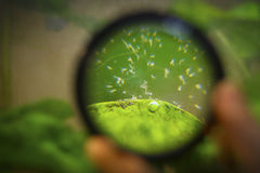 Hydra through a magnifier. Magnified view of many small microorganisms in a fresh water reservoir next to a green leaf Stock Photos