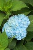 Hydraenga azul Imagens de Stock
