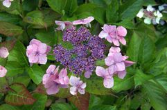 hydranga λουλουδιών Στοκ Εικόνα