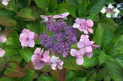 Hydranga flower Stock Image