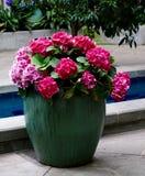 Hydrangas rosa Immagine Stock