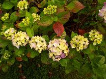 Hydrangea έξι χαμόγελο λουλουδιών Στοκ φωτογραφίες με δικαίωμα ελεύθερης χρήσης