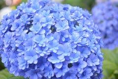 Hydrangea Ιαπωνία Στοκ φωτογραφία με δικαίωμα ελεύθερης χρήσης