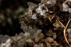 hydrangea ξηρά λουλούδια Στοκ Εικόνα