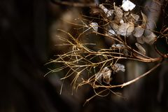 hydrangea ξηρά λουλούδια Στοκ Φωτογραφίες