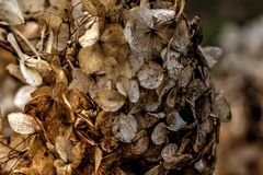 hydrangea ξηρά λουλούδια Στοκ Εικόνες