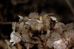 hydrangea ξηρά λουλούδια Στοκ εικόνα με δικαίωμα ελεύθερης χρήσης