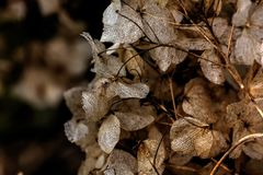 hydrangea ξηρά λουλούδια Στοκ φωτογραφίες με δικαίωμα ελεύθερης χρήσης